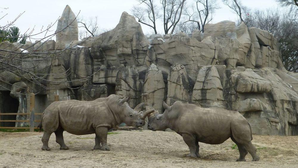 Tree Mammal Animal Themes Outdoors Day Animal Wildlife No People Animals In The Wild Nature Sky Zoo Animals  ZOO-PHOTO Macro_collection Macro Nature Macro Photography Rhinoceros Rhinos