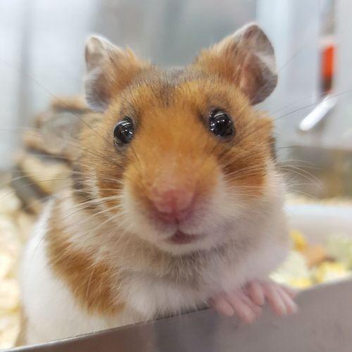 Hamster Hamster Love Fluffy Cute Cute Pets Pet Pets Pets Corner