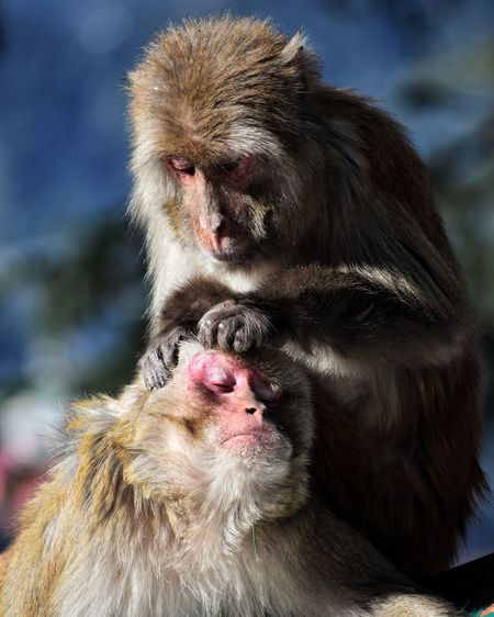 Close-up of monkey helping his friend