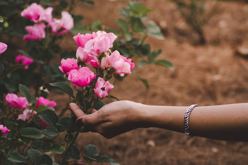 Close-up of woman hand touching pink flowers on field