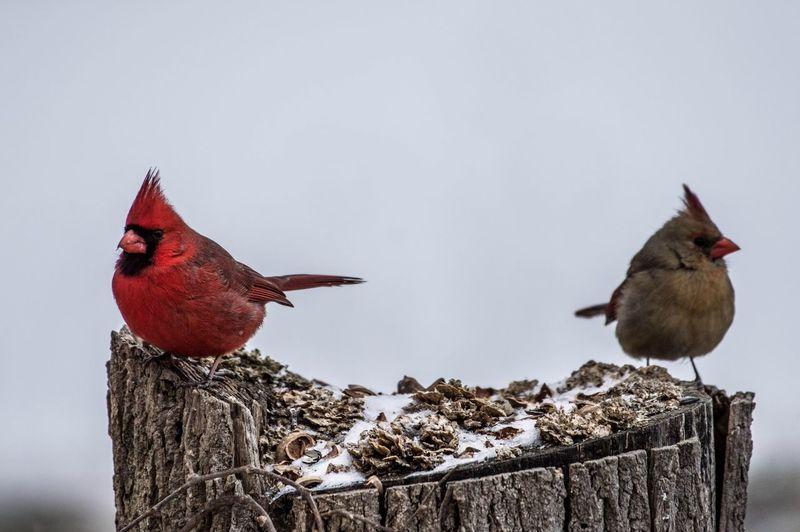 Close-up of cardinals perching on tree stump