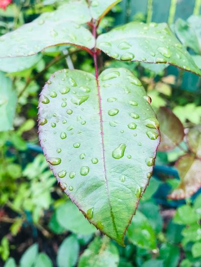 Wet leave Plant Growth Leaf Green Color Plant Part Close-up Water Drop Day Freshness Wet No People Fragility Vulnerability  Focus On Foreground Selective Focus Beauty In Nature Nature RainDrop Outdoors