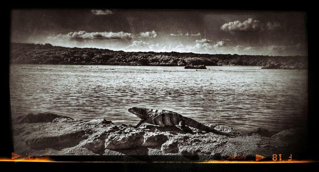 Naturschutzpark Xel-ha Iguana Island Iguana Caribic Feeling