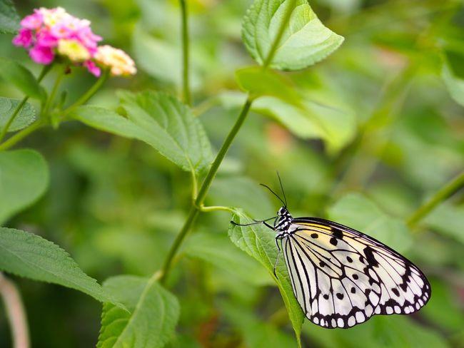 今の知識で受験すると確実に落ちるなあ。でも、試験日は11月19日。約5ヶ月先なので、バッチリ勉強するよ。今年のクリスマスプレゼントは赤バッジに決定😜 Insect Butterfly Butterfly - Insect Animal Themes One Animal Leaf Animal Wing Focus On Foreground Plant Close-up No People Green Color Fragility Olympus OM-D E-M5 Mk.II この場を借りて応援のコメントくださった方々に感謝いたします。
