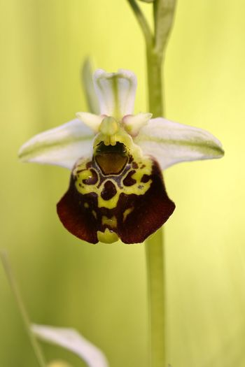 Ophrys holoserica Animal Animal Themes Animal Wildlife Animals In The Wild Beauty In Nature Close-up Flower Flower Head Flowering Plant Focus On Foreground Fragility Freshness Growth Insect Invertebrate Nature No People One Animal Outdoors Plant Pollination Vulnerability  Yellow