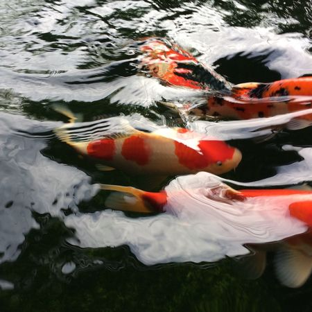 thE dEad wOn't movE... carps arE tEaching lifE lEssOn... nicE wOrk.. Swimming Carp Animal Themes Koi Carp Water Fish Sea Life Animals In The Wild Underwater Close-up Large Group Of Animals Day Pets Outdoors Goldfish Nature No People Nofilter Naturalshot Soproudoftheshot IPhone6s+ Myfishpond Koi Pond