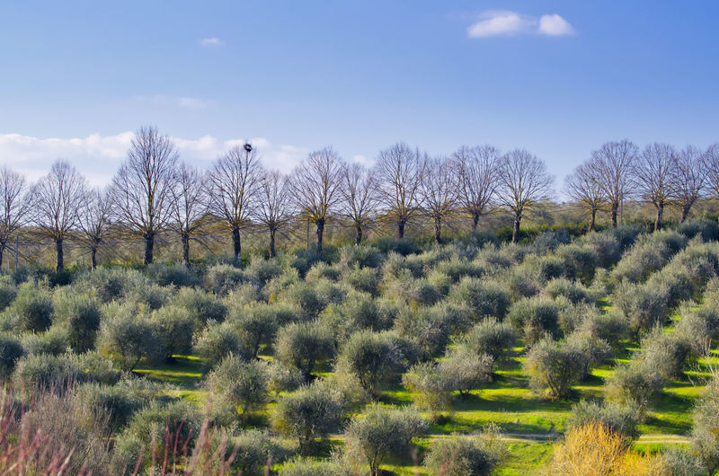 Olive Trees and Bare Trees in Tuscany, Italy. Olive Olive Tree Agriculture Bare Tree Beauty In Nature Day Field Grass Growth Landscape Nature No People Outdoors Plant Rural Scene Scenics Sky Tranquility Tree