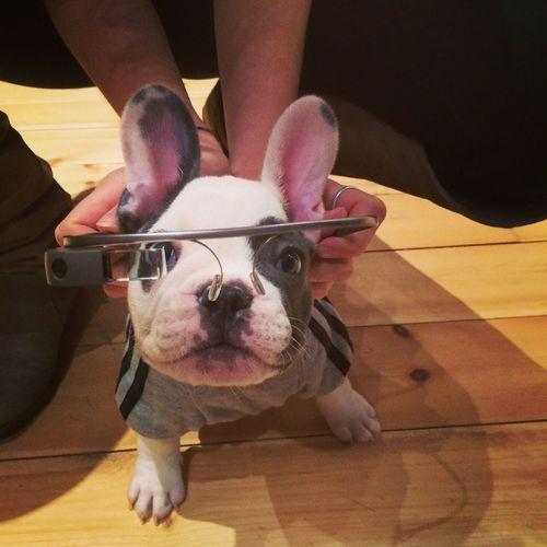 Cute Dogs Dogs Of EyeEm Dogsofinstagram French Bulldog Puppy Frenchbulldog Frenchie Funny Puppy Google Glass