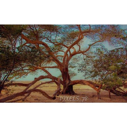 شجرة الحياة وتقع في جنوب جزيرة البحرين وتبلغ من العمر اكثر من مئة سنه تقريبا Nature Life_tree Trees Instapic Instagod Instamood Insta