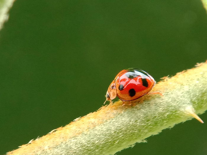 lady bug Lady Bug Macro Photography Macro_collection Macro Beauty Macro Nature Animalia Arthropoda Insecta Coleoptera Coccinellidae Ladybug Leaf Red Insect Tiny Close-up Green Color