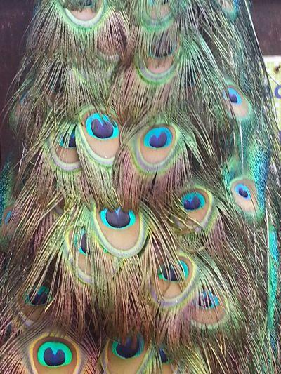 Peacock Penadepavao Pavão