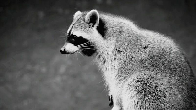 Raccoon... Animals In The Wild Wildlife Close-up Outdoors Zoo Zoology Animal Head  No People Animal Themes Animals Nature Focus On Foreground Animal Hair Day Animal Raccoon Fur Black And White No Colors One Animal Natures Beauty EyeEm Best Shots Animals In The Wild Animal Head  Gray