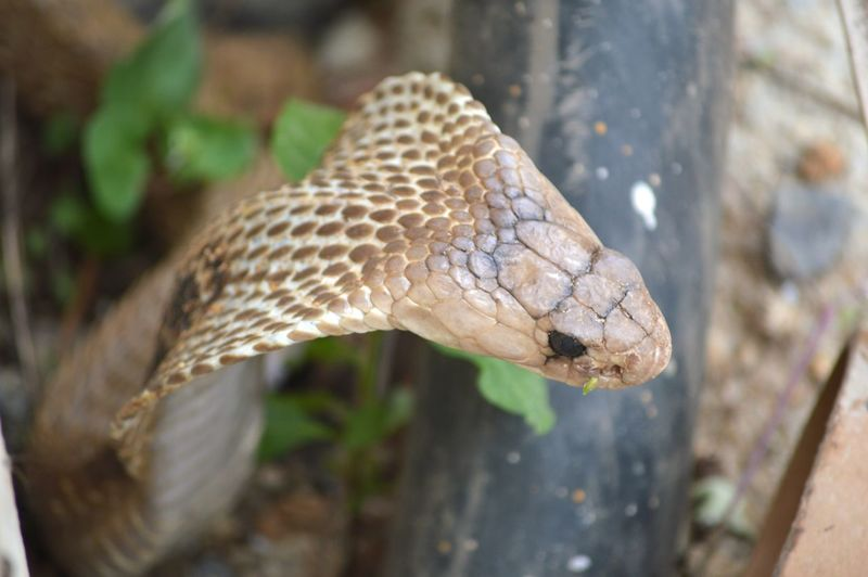 Hooded Snake Fearsome Look Cobra Cobra Snake Venomous Snake Snake With Hood EyeEm Selects Reptile Close-up Animal Body Part Snake