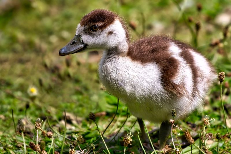 Egyptian Gosling Beauty In Nature Close-up Day Field Focus On Foreground Grass Grassy Growth Mammal Nature No People Outdoors Plant Selective Focus White