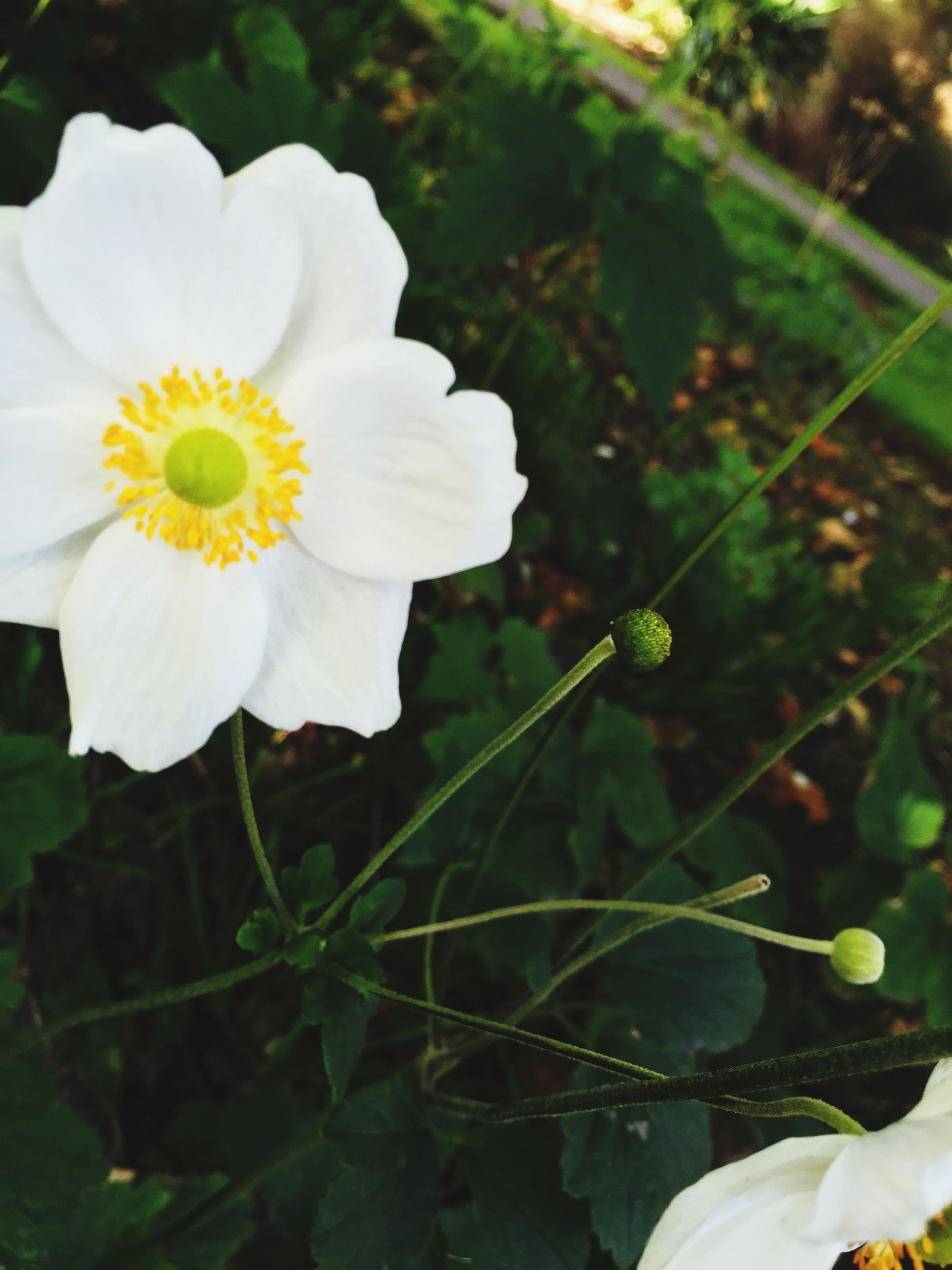 flower, petal, freshness, fragility, growth, flower head, beauty in nature, white color, close-up, plant, blooming, focus on foreground, nature, leaf, in bloom, pollen, park - man made space, day, outdoors, stem