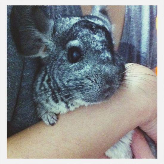 my cutie Pet . Fluffy Hugable Chinchilla