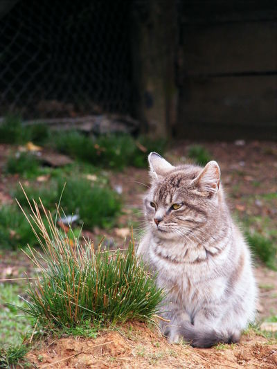 Cat looking away while sitting on grass