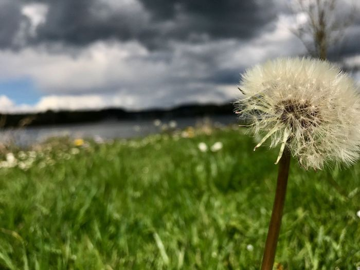 Flower Dandelion Growth Nature Fragility Beauty In Nature Focus On Foreground Plant Freshness Wildflower Uncultivated Close-up Outdoors Day No People Grass Flower Head Tranquility Water Wiesensee EyeEm Selects