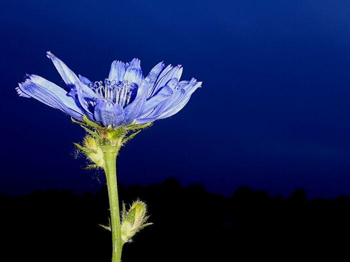 Night Photography Cichorium Intybus Cichorei Chicory