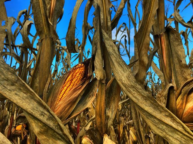 Late season corn Growing Nature Outdoors No People Growth Brown Day First Eyeem Photo