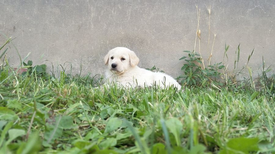 Curiosity. Mixed Breed Dog White Grass
