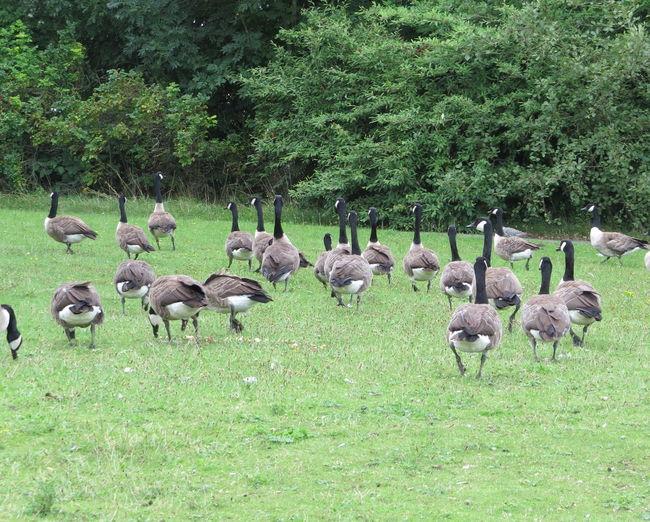 Flock of Canada