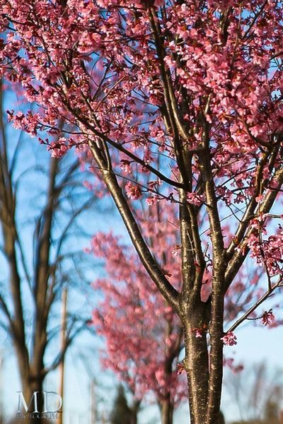 Blossoms Nature EyeEm Nature Lover Trees Blossoms  Pink Pink Blossom Naturelovers Beautiful Nature Natural Beauty