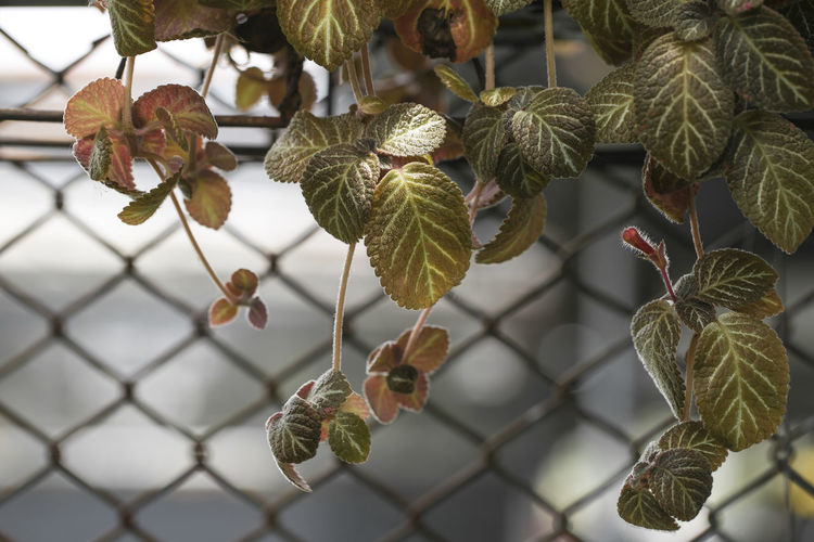 Beauty In Nature Chainlink Fence Close-up Day Fence Focus On Foreground Food Food And Drink Freshness Fruit Growth Healthy Eating Leaf Nature No People Outdoors Plant Plant Part Selective Focus Tree