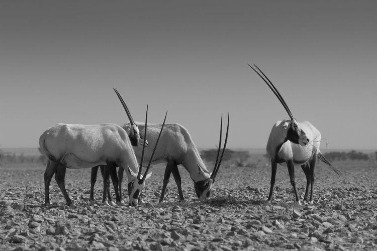 Arabian oryx 3