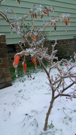 Redhotchilipeppers Frozen Nature Frozentree Winter Wonderland Wintertime Freezing Cold January : Showcase Lovingtheweather