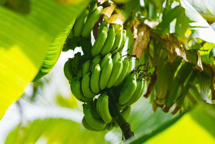 Bananas on the tree. Banana Tree Agriculture Beauty In Nature Close-up Day Exotic Flowers Focus On Foreground Food Food And Drink Freshness Fruit Green Color Growth Healthy Eating Leaf Leaves Nature No People Outdoors Paradise Plant Plant Part Selective Focus Sunlight Wellbeing