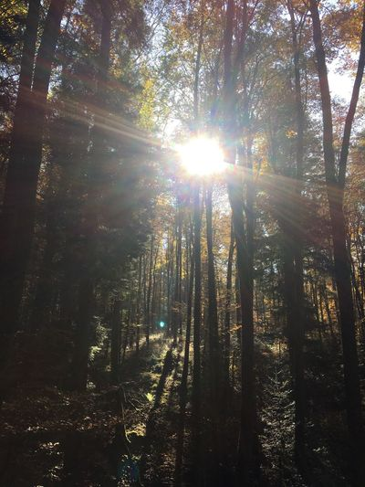 Light And Reflection Tree Nature Sunlight Sunbeam Forest Sun Lens Flare Tranquility WoodLand Growth Tree Trunk Beauty In Nature Scenics Tranquil Scene Outdoors No People Day Non-urban Scene Streaming