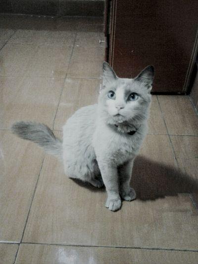 cat Snowshoes