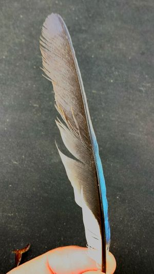 Streak Of Blue Blue Color Bluejay Feather