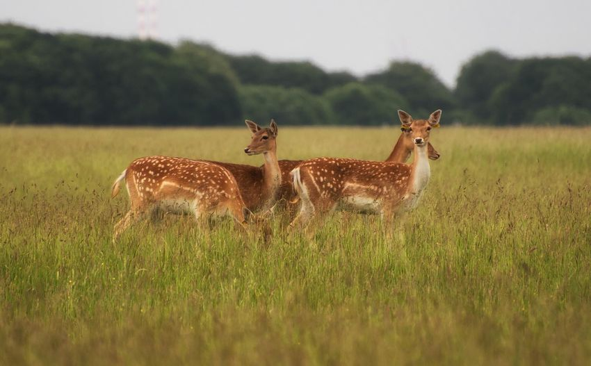 Deer standing on grassy field at phoenix park