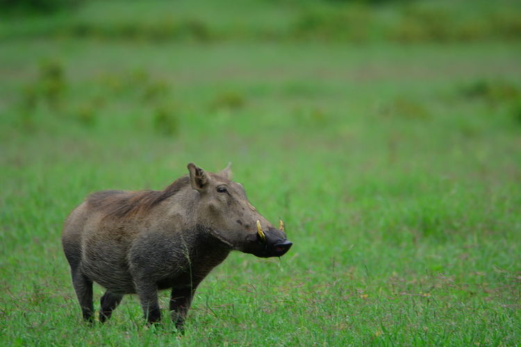 Warthog on grassy field