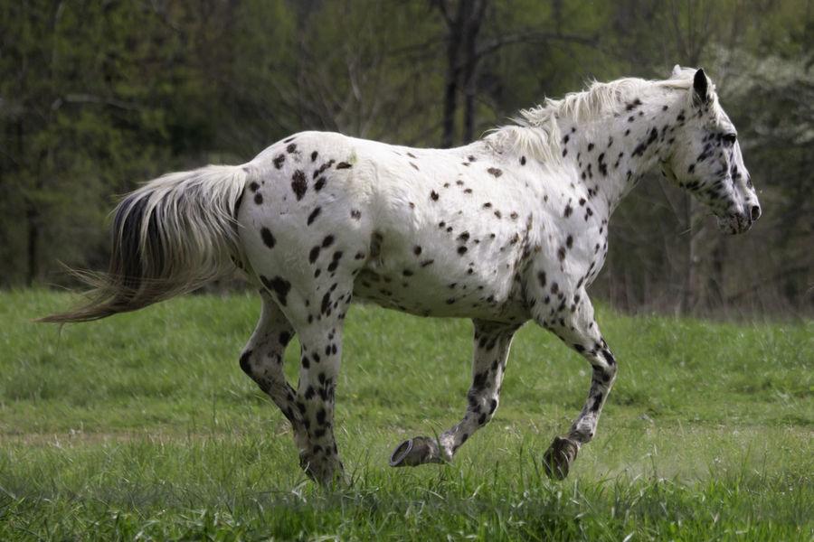 Running Horse Animal Animal Themes Animal Wildlife Animals In The Wild Field Horse Mammal Motion Running Spotted