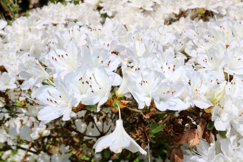 Flower White Color Blossom Fragility Springtime Petal Nature Botany Flower Head Beauty In Nature Growth No People Day Tree Close-up Freshness Stamen Outdoors