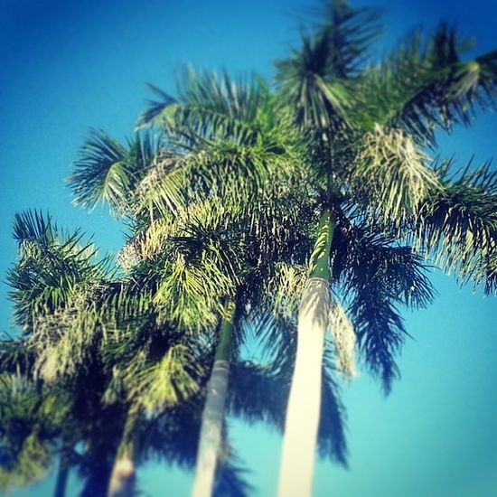 Sunnyafternoon Southflorida Cityofweston Palmtrees Blueskies Noclouds Talltrees Tropical Coolbreeze Christmasinsouthfla Vacationvillage Palm trees outside Cesars' job @ Weston.