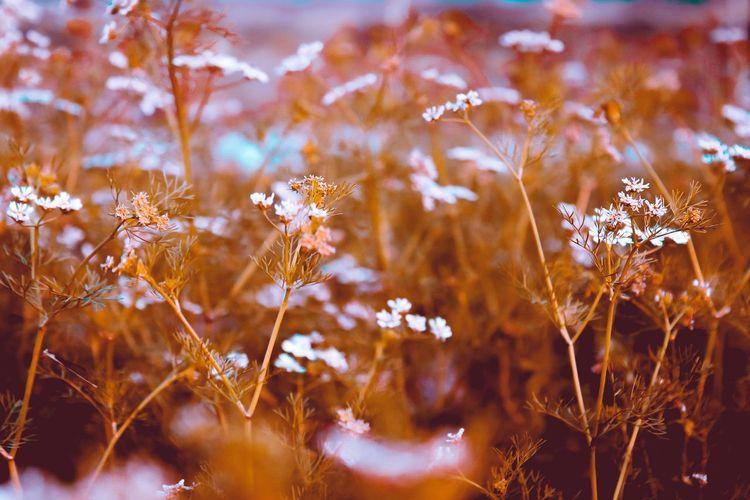 Seasons #seasons  Flower Flower Head Defocused Beauty Summer Pastel Colored Uncultivated Rural Scene Close-up Sky Wilted Plant Wildflower Plant Life Botany Thistle Stem Blossom In Bloom Dried Poppy Sepal Focus Bud Flowering Plant Stamen Dead Plant Dandelion Seed Dried Plant Apple Blossom