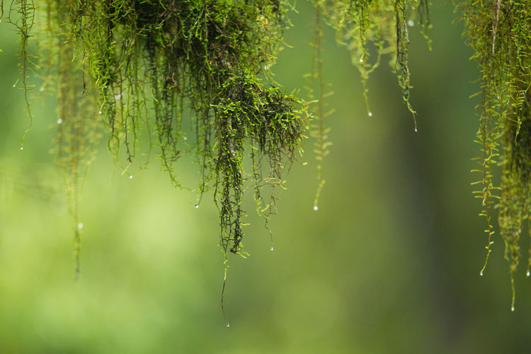 Close-up of wet plants hanging