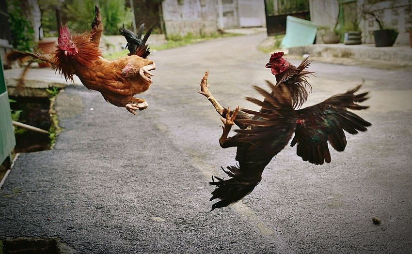Two fighting roosters in mid-air on road