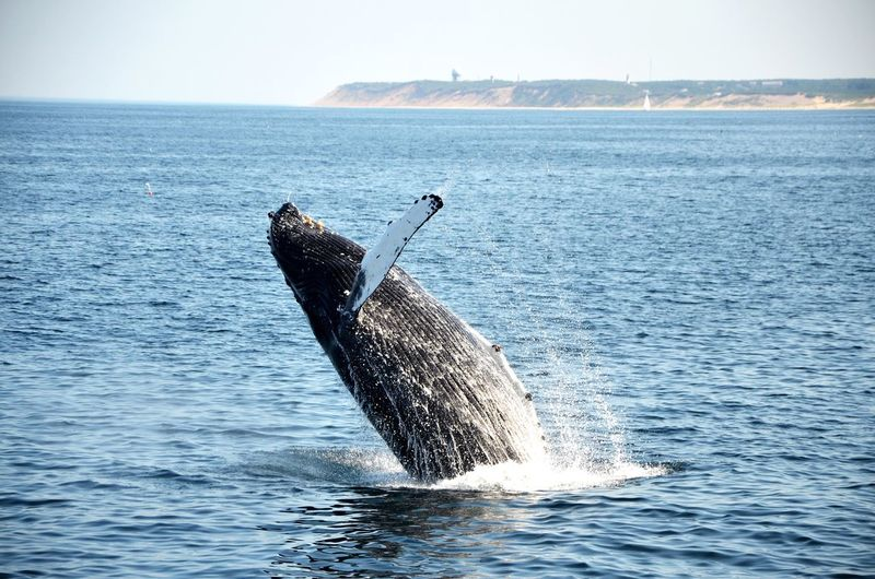 Animal EyeEm Nature Lover Whale Cape Cod Whale Watching The Moment - 2015 EyeEm Awards Protecting Where We Play Capture The Moment Shades Of Blue Splash Landscapes With WhiteWall Animals Blue Wave The Great Outdoors With Adobe Nature's Diversities Sommergefühle Perspectives On Nature