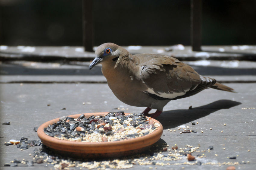 Bird Vertebrate Animal Themes Animal Animal Wildlife Animals In The Wild Perching One Animal Day No People Nature Food Sunlight Outdoors Focus On Foreground Close-up Eating Feeding  Selective Focus Seed Dove White Winged Dove White-winged Dove Birdseed