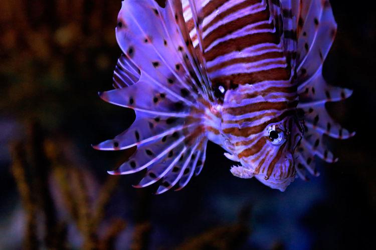 Close-up of purple lionfish in aquarium