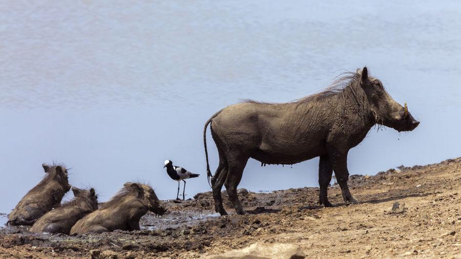 Warthog on lakeshore