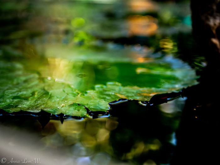 Close up of a water leaf. Leaf Water Green Color Nature No People Plant Part Selective Focus Close-up Wet Food And Drink Leaves Freshness Drop Reflection Plant Food Day Outdoors Rain EyeEm Best Shots EyeEm Nature Lover The Week on EyeEm