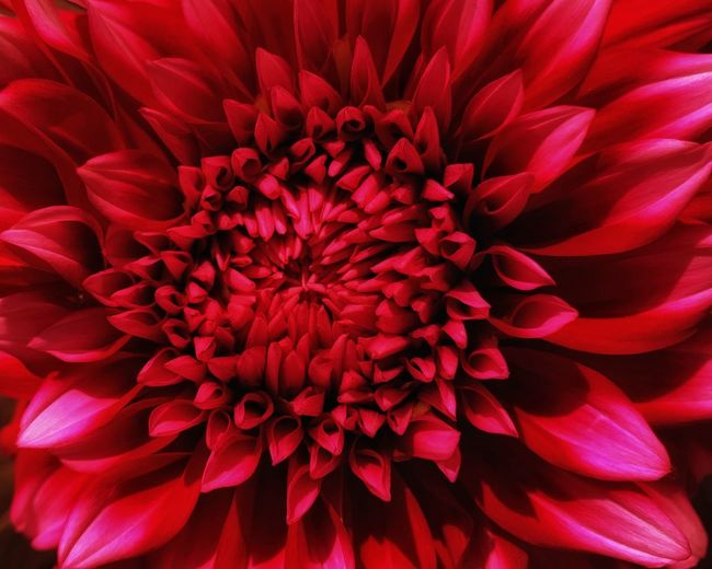 Full frame shot of red dahlia