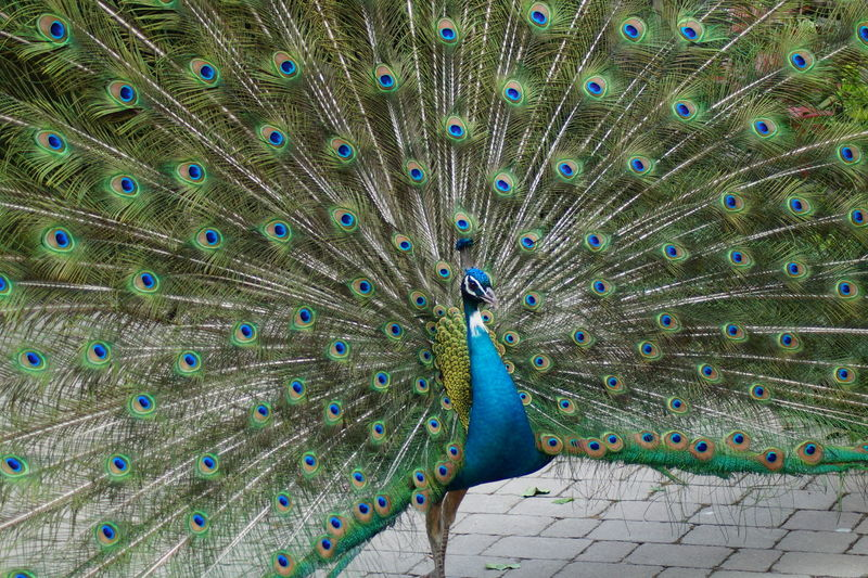 Peacock with fanned out on footpath