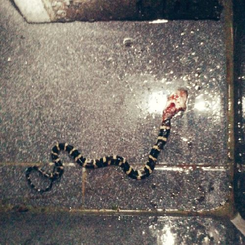 Weling Snake Deadly Poisonous my house